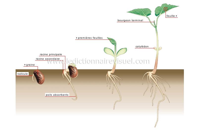 germination-284240