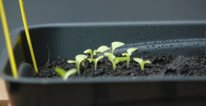 semis salade